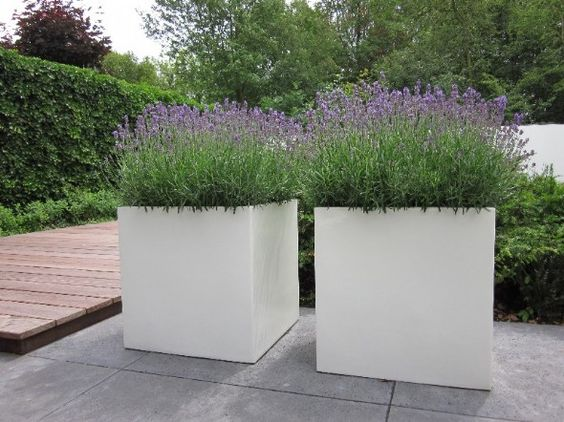 White pots on terras with lavender | perhaps concrete cast windblock, lavender or fill with white tulips