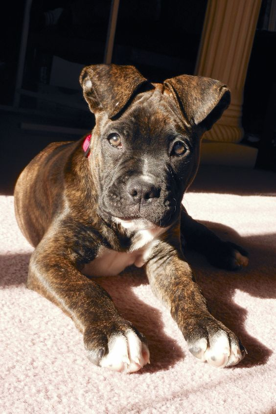 2 month old boxer/American bulldog mix.  OMG... He is perfection.