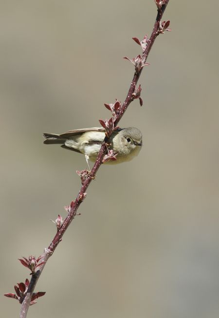 Pacific-Slope Flycatcher Photo by Terry Spivey -- National Geographic Your Shot