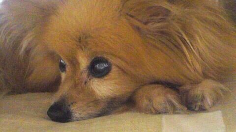 愛犬のなな ポメラニアン×パピヨンの雑種