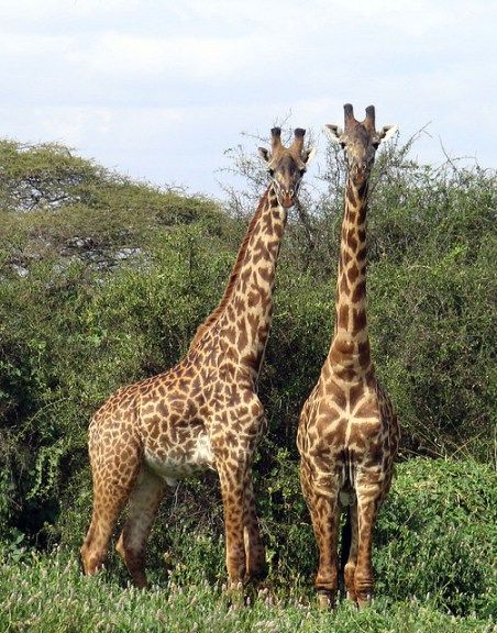A Giraffe Couple in the African grassland - Image by WELS net