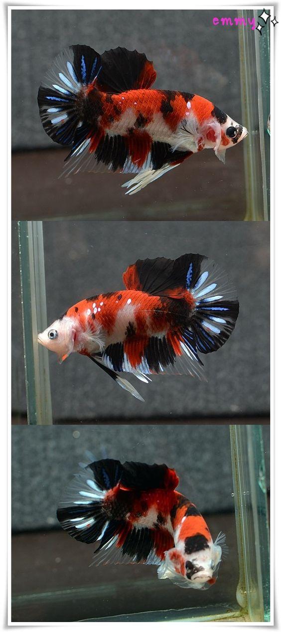 Fwbettashmp1442068809 fancy koi hm pk m m411 betta for Fancy koi fish