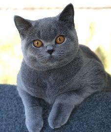 British Shorthair Cat Cat Breeds With Pictures British