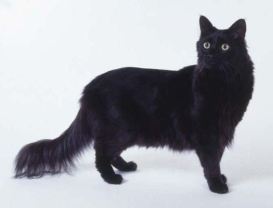 Looks exactly like my cat Blue. Turkish Angora Cat