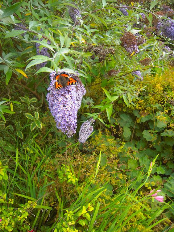 a lucky shot ... butterfly on the butterfly bush