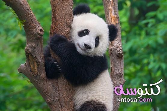 ما هو حيوان الباندا كيف يتغير شكل الباندا عن شكل الولادة أماكن تواجد حيوان الباندا Panda Bear Panda Panda Day