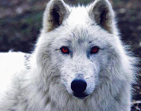 Snow's Ghost  @bastardofwesteros
