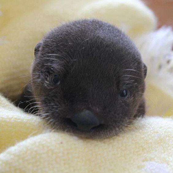 Newborn otter cub at Virginia Aquarium <3
