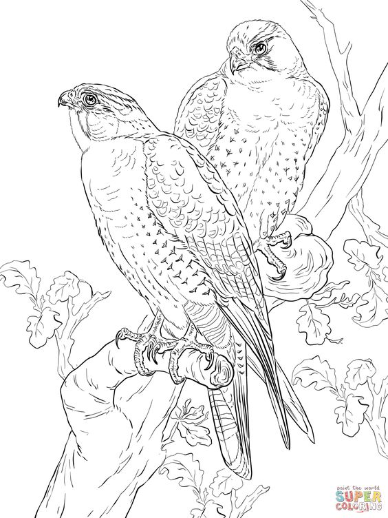 Peregrine Falcons Super Coloring