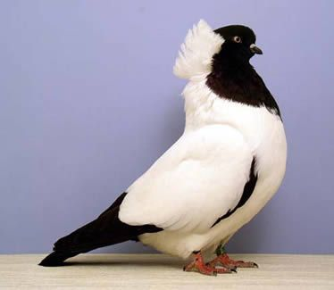 The Nun Pigeon has been developed over many years of selective breeding.