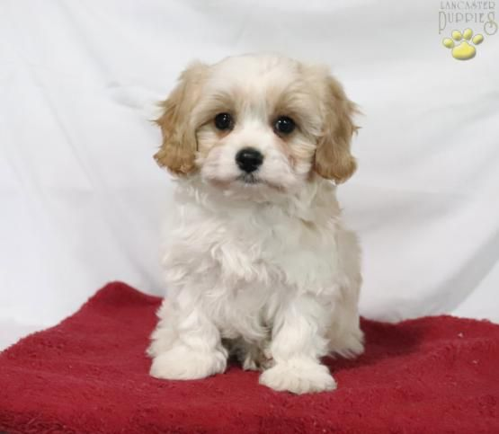 Willy Cavachon Puppy For Sale In Bird In Hand Pa Lancaster