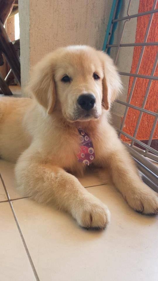 Cute Golden Puppy Goldenretrievercute Cute Puppies Retriever