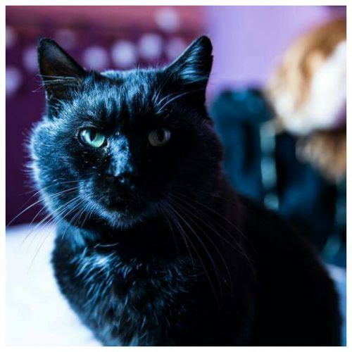MAO BOY Type : Chat domestique poil court Sexe : Mâle Age : Adulte Couleur : Noir Taille : Grand Lieu : Val-de-Marne - 94 (Île-de-France)  Refuge : Les Amis de Néo (Val-de-Marne)             Mao boy est un beau chat noir aux yeux verts mordorés âgé d'environ 5/6 ans. FIV+, il a été trouvé vivant a la rue.