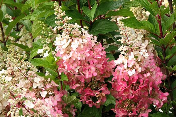 pinky winky hydrangea hydrangea paniculata 39 dvp pink 39 pp. Black Bedroom Furniture Sets. Home Design Ideas