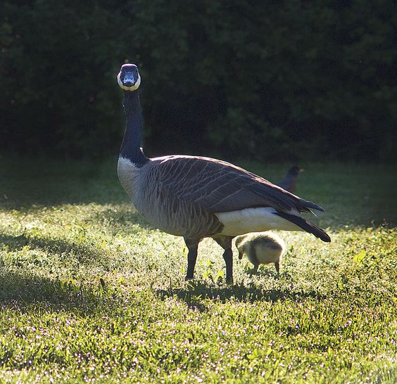 Mama goose and gosling at Faust Park. Photo taken by Park Ranger Steve Tiemann. #stlconature