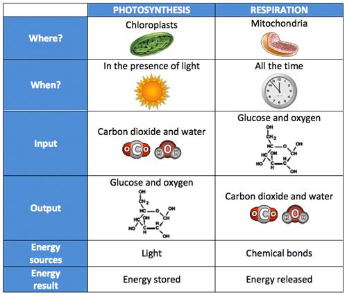 Printables Comparing Photosynthesis And Cellular Respiration Worksheet chart comparing photosynthesis to respiration this image is also a link pdf cellular and