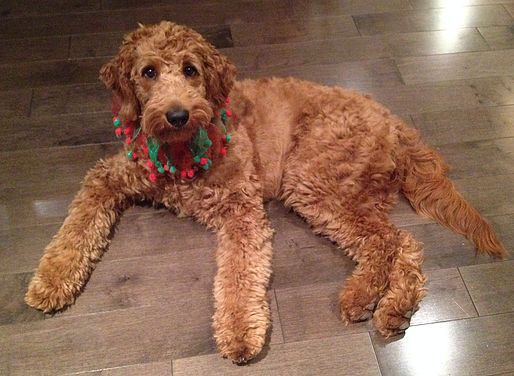 Our Dogs Goldendoodles And Small Standard Poodles Therapy Dog Therapy Dogs Dogs Goldendoodle