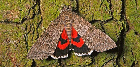 Das Rote Ordensband ist Schmetterling des Jahres 2015 Gut getarnt mit Schockeffekt: Das Rote Ordensband (Catocala nupta) ist der Schmetterling des Jahres 2015. Dieser relativ große Nachtfalter fällt nur dann auf, wenn er seine Hinterflügel zeigt: Sie sind grellrot-schwarz gemustert.