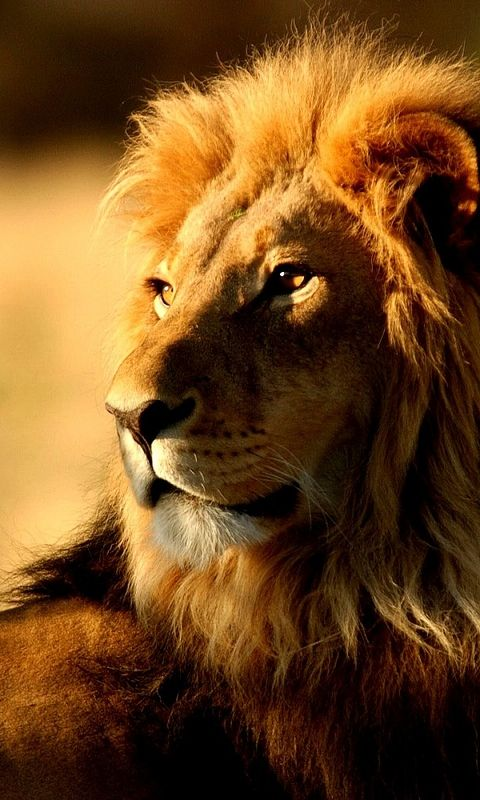 Lion Phone Wallpaper High Quality Desktop Iphone And Android Background And Wallpaper Animals Wild Animals Beautiful Animals