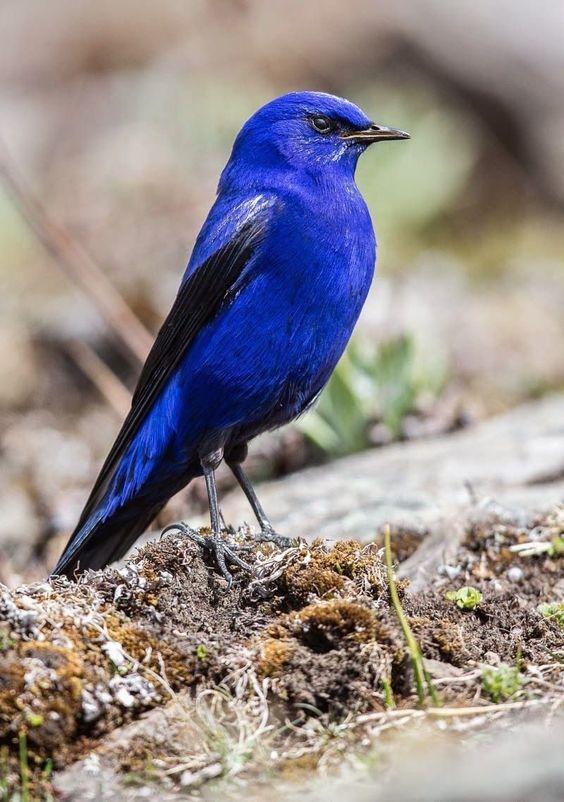 Единственный представитель - Лазоревая птица Grandala ...