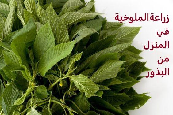 زراعة الملوخية من البذور Vegetables Blog Posts