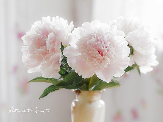 Weiße Pfingstrosen in der Vase. Regennasse Pfingstrosen knicken leicht - was für ein Glück, jetzt dürfen sie ins Haus: Wie Sie Pfingstrosen für die Vase schneiden, damit sie lange halten und gut aussehen.