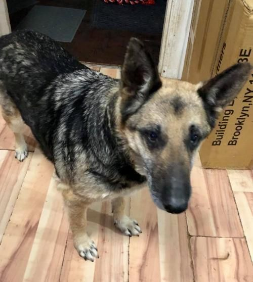 Adopt Hannah 0816 On German Shepherd Dogs Dog Search Shepherd Dog