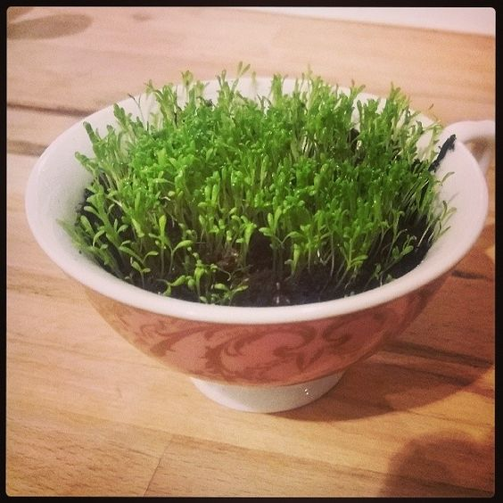 A teacup full of chamomile to grow next to my bed. I think it's rather sweet and watching it grow cheers me up no end. #gardening #urbangardening #sweetdreams: