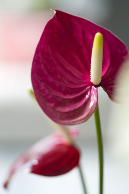 Endless Anthurium These Are The Different Types Of The Anthurium In 2020 Anthurium Anthurium Flower Artificial Flower Arrangements