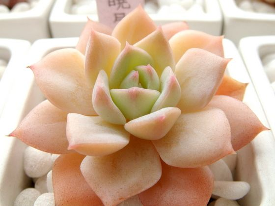 "Echeveria 'Hime Shougetsu' | or in my book i'm calling it the ""orange sherbet echie"":"