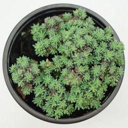 Sedum hispanicum pelouses - Plantes grasses resistant au gel ...