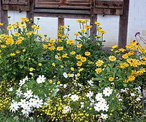 18 plantes stars pour massifs increvables ! - Fleurs robustes en massif : rudbeckias, bidens et cosmos
