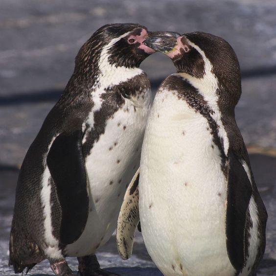 Penguins - Animals Birds Penguin