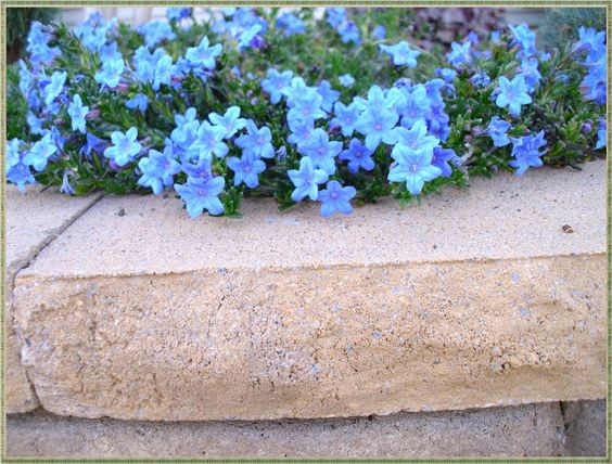Roses In Garden: Lithodora: Evergreen Perennial With Electric Blue Flowers