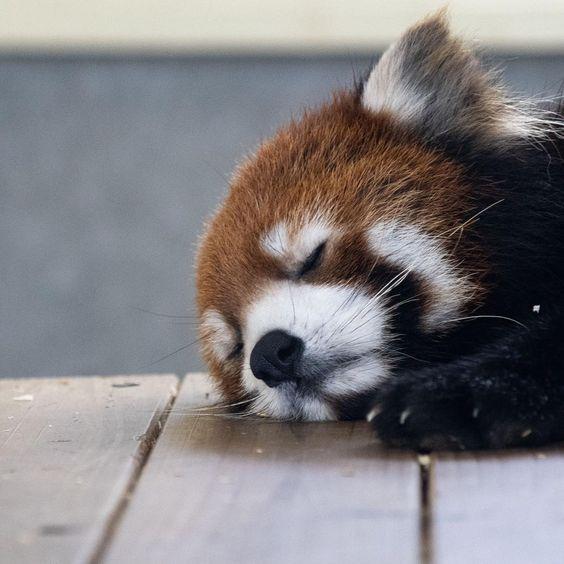 レッサーパンダお手々が可愛いお昼寝姿