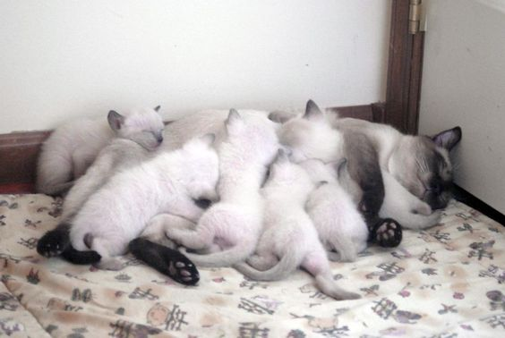 Siamese Kittens For Sale Seal Point Applehead Born March 2016