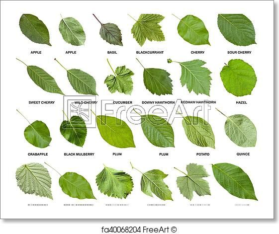 Free Art Print Of Collage From Green Leaves Of Trees With Names Tree Leaf Identification Plants Leaf Identification