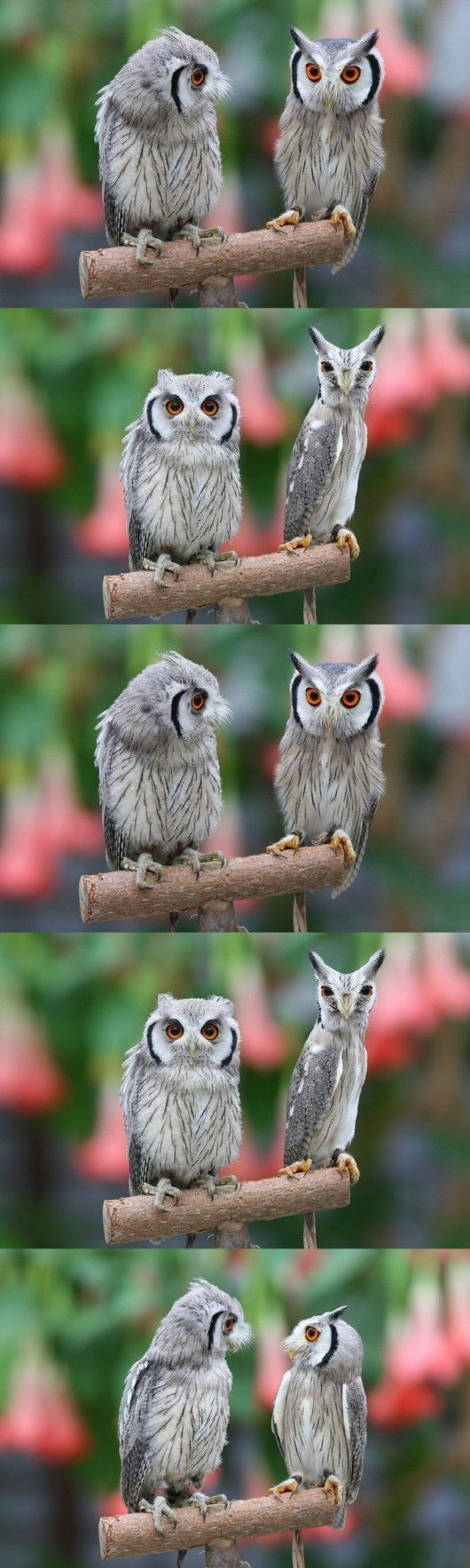 Shape-shifting owl - http://www.youtube.com/watch?v=gFwgblszf6s&feature;=related - so hilarious! #Owl