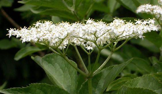Hat man einen Essig zur Hand, der mit Blüten des Schwarzen Holunders (Sambucus nigra) angesetzt wurde, kann man ihn auch zur Behandlung von geschwächten Hautpartien heranziehen. In ein Glas mit 1/8 Liter lauwarmem Wasser rührt man 2 Esslöffel des besagten Essigs zusammen mit 1 Teelöffel Honig ein. Mit dieser Mischung reibt man mehrmals am Tag die betroffenen Stellen der Haut ein, um die Heilung zu beschleunigen. Mehr dazu in meinem Blog: http://blog.kraeuterpfarrer.at/?p=5857 (Foto: Flickr…