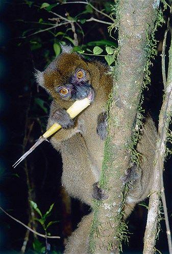 A greater bamboo lemur feeds on bamboo in Madagascar's Ranomafana National Park.