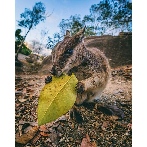 Here's one of the local Rock Wallabies from Granite Gorge in @Queensland, pretty cute right? (via @mgglastonbury)