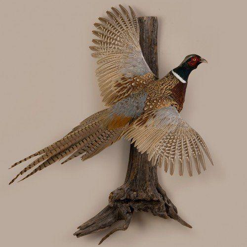 Rustic Trophy Pheasant Pheasant Mounts Deer Hunting Tips Animal Taxidermy