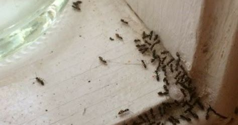 Super Effective Method To Get Rid Of Ants Very Quick Rid Of Ants