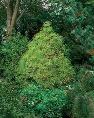 conifers for shade joe kozey japanese umbrella pine sciadopitys verticillata joe kozey. Black Bedroom Furniture Sets. Home Design Ideas