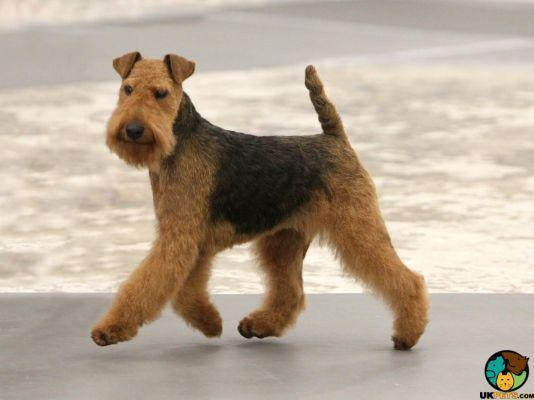 Welsh Terrier Dog Breed Information Uk Pets Terrier Breeds Welsh Terrier Terrier Dog Breeds