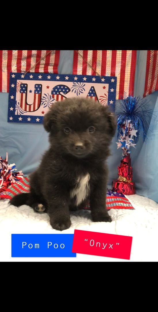Puppies Tampa Puppies For Sale Adopt A Puppy Puppies For Sale Bay Area Puppy Adoption Puppies For Sale Yorkie Puppy