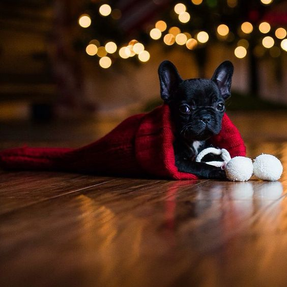 1000  images about cute french bulldog on pinterest