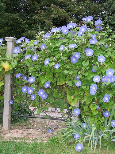 Morning Glory flowers - Because of their fast growth, twining habit, attractive flowers, and tolerance for poor, dry soils, some morning glories are excellent vines for creating summer shade on building walls when trellised, thus keeping the building cooler and reducing heating and cooling costs.  So easy to grow. they grow fastest with regular watering but bloom best when dry.