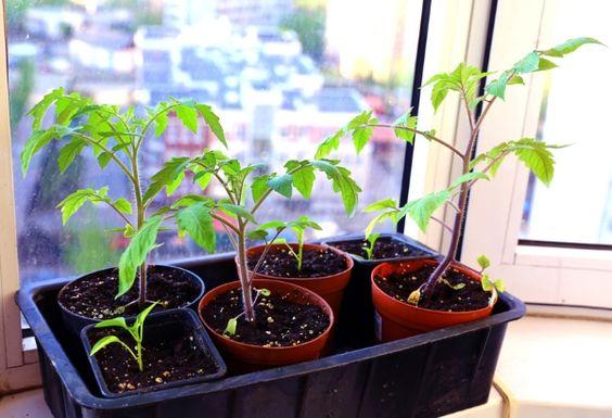 Tomaten-Pflanzen selber ziehen: Einfache Anleitung für unverfälschten Genuss » Tomaten aus Samen selber ziehen ist nun wirklich nicht sonderlich  ...