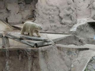 """""""O Grito do Bicho"""": Saúde de último urso polar da Argentina preocupa d..."""